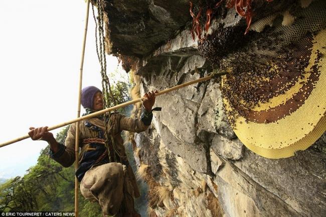 国外野生岩蜂蜜采集现场实录