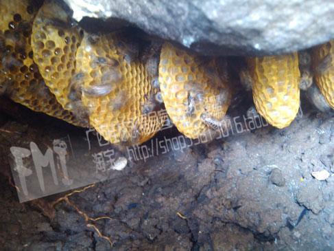 中华土蜂已剩不多,濒临灭绝!